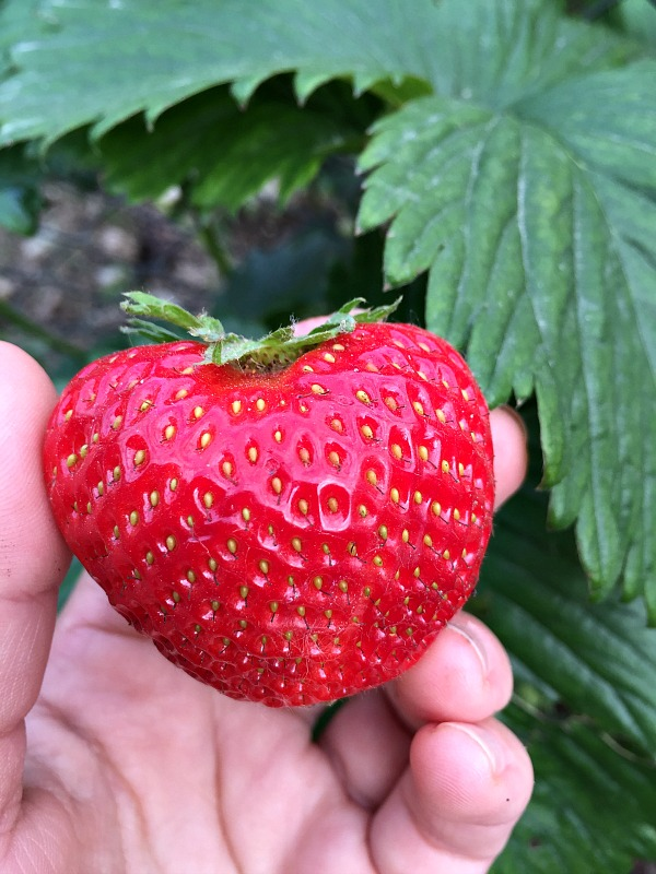 A hand-picked strawberry